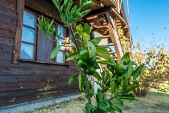 Citrus växt för Mandarine Arkivbilder