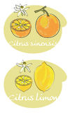 Citrus vector  Royalty Free Stock Image