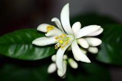 Citrusa blommor för citron royaltyfri bild