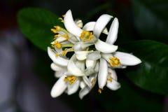 Citrusa blommor för citron royaltyfri fotografi
