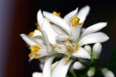 Citrusa blommor för citron royaltyfria bilder