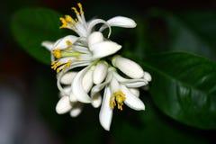 Citrusa blommor för citron royaltyfria foton
