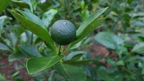 Citrusa Calamondin är fortfarande rå Arkivfoton