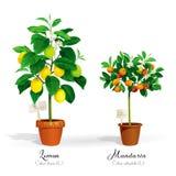 Citrusbomen in de potten Stock Fotografie