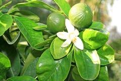 citrusetree royaltyfri bild