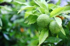 Citrusfrukt på trädet Royaltyfria Foton