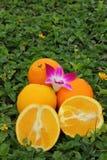 Citrusfrukter. Royaltyfri Fotografi