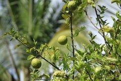 Citrusfrukter storleksanpassade stort royaltyfria bilder
