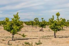 Citrusträd arkivfoton