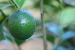 Citrusvrucht Aurantiifolia Royalty-vrije Stock Afbeeldingen