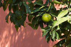 Citrusvrucht het groeien Royalty-vrije Stock Afbeelding