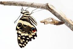 Citrusvrucht Swallowtail Stock Fotografie