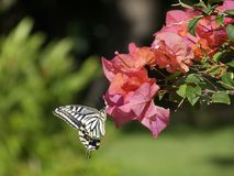 Citrusvrucht Swallowtail Royalty-vrije Stock Afbeeldingen