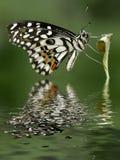 Citrusvrucht Swallowtail royalty-vrije stock fotografie