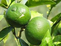 Citrusvruchten Stock Foto
