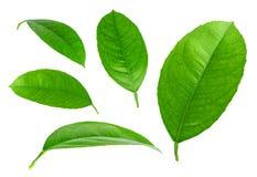 Citrusvruchten groene die bladeren op witte achtergrond worden geïsoleerd Stock Foto's