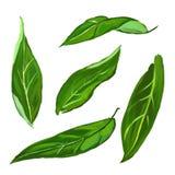 Citrusvruchtenbladeren geplaatst vector getrokken illustratiehand Stock Foto