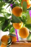 Citrusvruchtenkumquat in houseplants sluit omhoog stock afbeelding