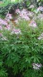 città così bella rosa di verde del fiore Fotografia Stock