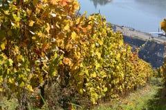 Città di Kaub con le foglie dell'uva Fotografie Stock