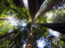 Cittadino Forest Look Up della sequoia Immagini Stock Libere da Diritti