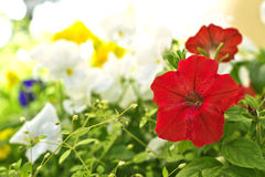 City ​​flowers. Red flower on a background of other colorful flowers in city park Royalty Free Stock Photos
