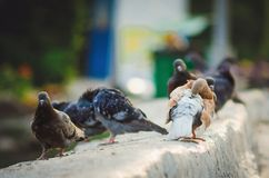 City birds pigeons on the street. Close-up royalty free stock photo