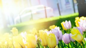 City boulevard with Yellow tulips royalty free stock image