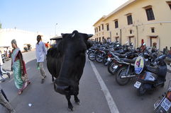 City Cow, Jaipur, India, Fisheye Royalty Free Stock Images
