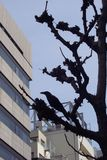 City crow tree. Crow in black tree beside tall buildings in cityscape Stock Images