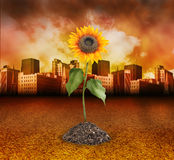 City Destruction with Nature Sunflower Growing. A single sunflower is growing from a pile of soil on a dry cement background. There is a dark red city in the vector illustration