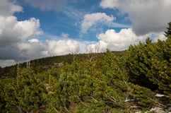 Mountain pine and sky Royalty Free Stock Photo