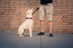 City Dog and Human. White boxer dog sits on leash with their human Stock Photos