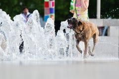 City dog picks a refreshment Royalty Free Stock Photos
