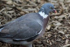 City dove Royalty Free Stock Images