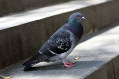 City dove Royalty Free Stock Photography