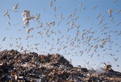 City dump. Gulls Stock Photos