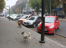 City-dwellers. Pariah-dogs on the streets of city Cherkas Royalty Free Stock Photography