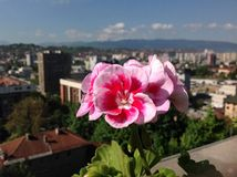City flower. Beautiful spring flower and city view Stock Images