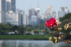 City flower. Red flower with cobwebs in front of the Sao Paulo skyline Stock Image