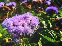 Free City Flowers. Ageratum Houstonianum, Commonly Known As Flossflower, Bluemink, Blueweed, Pussy Foot Or Mexican Paintbrush. Stock Photos - 158407053