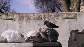 Garbage cans in city dump. Birds dig garbage bags. The concept of global pollution and consumer society.4k UHD 3840 2160. City garbage cans. Birds dig garbage stock video