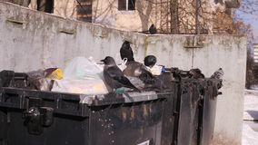 Birds dig garbage cans in city dump, looking for food open garbage bags. The concept of global pollution and consumer. City garbage cans. Birds dig garbage bags stock video