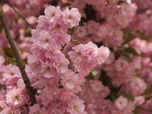 In the city garden blossomed delightful sakura. A warm spring day in the city garden blossomed delightful sakura Stock Images