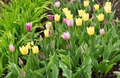 City Garden: Tulips Stock Photography