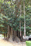 City gardens - Tropical plants - Ficus magnolioides Stock Photography