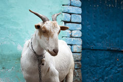 City goat. Goat standing in front of colorful wall Royalty Free Stock Image
