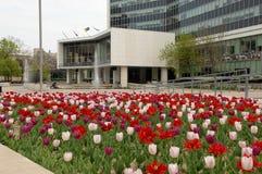 City hall of Hamilton with tulips. Stock Image