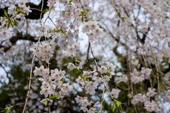 Fully bloomed weeping cherry blossomsshidarezakura at Samurai District of Kakunodate,Akita,Tohoku,Japan in spring. The city of Kakunodate is famous for its Royalty Free Stock Photos