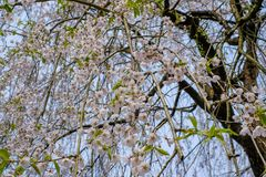 Fully bloomed weeping cherry blossomsshidarezakura at Samurai District of Kakunodate,Akita,Tohoku,Japan in spring. The city of Kakunodate is famous for its Royalty Free Stock Image